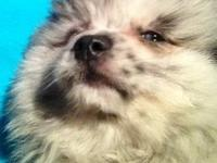 I have a male Pomeranian puppy that will be available