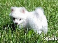 White CKC registered male Pomeranian puppy available.