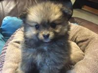 Male and female pom puppies shots and wormed ready to