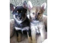 Greetings, I have a couple of Pomsky
