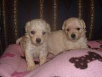 ADORABLE NEW PUPPIES ! BRAND NEW LITTER OF POOCHON