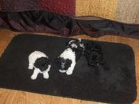 CKC registered toy poodle female and 2 males. They are
