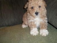 CKC registered toy poodle male that was born on