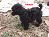 Poodle Puppies CKC Registered 1 Female 3 Males