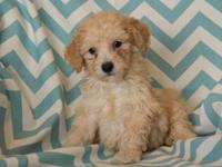 Adorable miniature poodle puppies. Shots/wormed/health