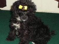 We have two darling little Miniature poodle puppies for