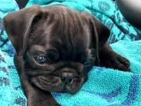 CKC Female Pug, Black, 9 weeks , 1st shots and wormed.