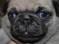 I have 1 last CKC Registered pug pup left . I have 1
