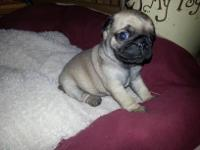 I have a male and female CKC Registered pug puppies.