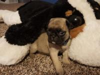 Fawn male and female Pug puppies Ready September 11th.
