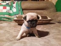 WE currently have 6 female and 2 male pugs for sale in