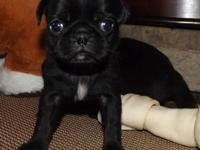 CKC Pug Puppies - Black Males only left! Place your