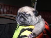 have 5 male pug puppies, will be ready to go the end of