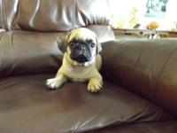 CKC PUG puppy female, fawn, 8 weeks old. She has her