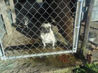 we have 3 pugs for sell dad-born 2-18-12 mom-born