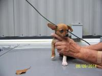 I have 3 male Chihuahua puppies for sale. They were