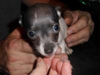 Stunning little lady that is blue/white with blue nose.