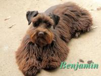 Benjamin is a young adult (3yo) mini schnauzer that