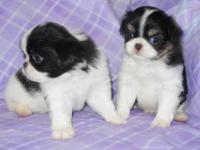 These two Japanese Chin boys were born May 19th, 2012,