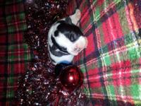 CKC red and white female Boston Terrier. She will be