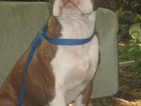 CKC Red Brindle Boston Terrier for sale. Grim is a