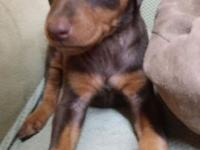 Only 1 female and 1 male left CKC Red Doberman puppies