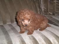 ckc red male toy poodle born February 18th 2015 8 weeks