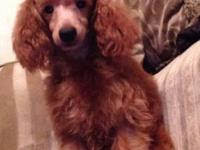 ckc red male mini poodle born 2-17-15 almost 6 months