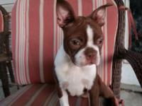 CKC Registered Purebred Boston Terriers 1 male & 1