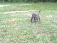 CKC Blue Pit Bull Puppies Born: 06-16-2012 Ready: