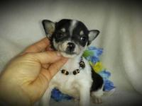 * Patrick* Little male Chihuahua puppy is ready for his