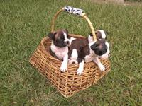 CKC Reg. Boston Terrier young puppies. All are brindle.