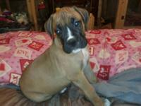 Boxer puppies 4 males. CKC reg. 7 wks old. Tails docked