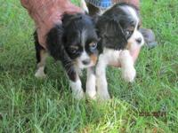 We have 2 tri-colored CKC reg. Cavalier King Charles