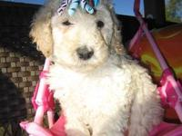 Beautiful male, big boy standard poodle, champagne with