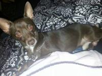 Snoop is a 2 yr old CKC reg chihuahua. He is about 6