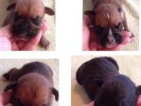 Beautiful CKC registered Boxers puppies available to