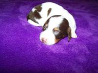 CKC Reg Dachshund Female choc./ tan Piebald, Asking