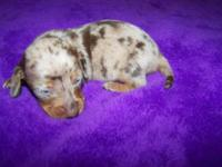CKC Reg Dachshund Female Puppy.$450.00 A deposit will