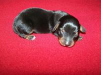 CKC Reg dachshund male Black/Tan Puppy $300.00 A