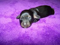 CKC Reg Dachshund Puppies 1-Females(Black/Tan) and