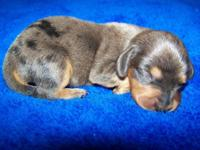 CKC Reg. Dachshund Puppies 2-Girls and 2 kids. Asking