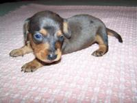 CKC Reg Mini. Dachshund Puppies 1-Females(shaded red)
