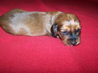 CKC Reg Dachshund New puppy Male, Will be Vet checked,