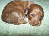 CKC Reg. Dachshund Female puppy. Will be Vet inspected,
