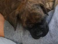 Ckc registered reverse brindle female looking for her