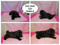ckc shih tzu she beautiful.thick coat black with white