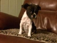 Female Frenchton. She is CKC reg. Ready to go . Health