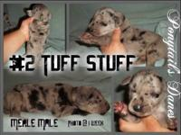 We have 3 female merles and 1 male merle left Ckc reg