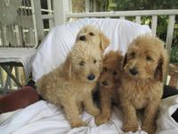 BEAUTIFUL LABRADOODLE PUPPIES...CKC REG. LITTER RED AND